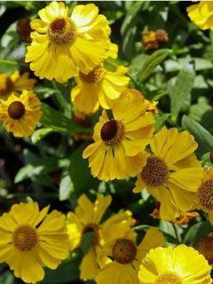 Helenium El Dorado - Hélénie jaune d'or