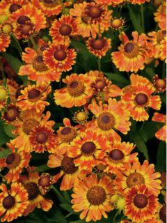 Helenium Fuego - Hélénie d'automne multicolore