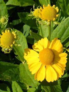 Helenium Kugelsonne - Hélénie jaune