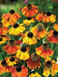 Hélénium Sahin's Early Flowerer - Hélénie multicolore