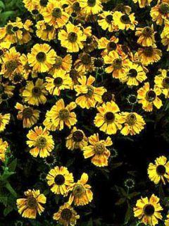 Helenium Windley - Hélénie jaune-orangé.