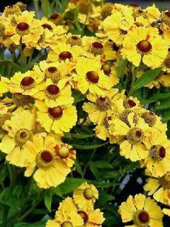 Helenium Zimbelstern - Hélénie d'automne jaune ambré.