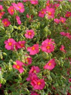 Helianthemum Ben Hope - Hélianthème hybride rose carminé.