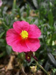 Hélianthème - Helianthemum Hartswood Ruby