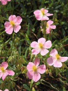 Hélianthème - Helianthemum Lawrenson's Pink