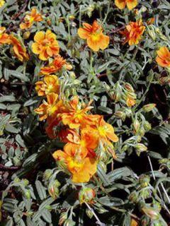 Helianthemum Orange Double - Hélianthème
