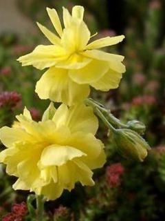 Helianthemum Sulphureum Plenum - Hélianthème double jaune soufre.