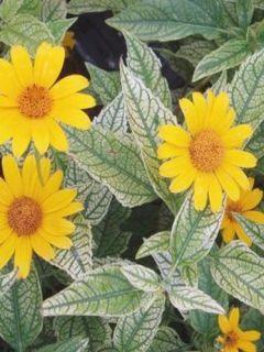 Heliopsis helianthoïdes Loraine Sunshine - Héliopsis faux hélianthe