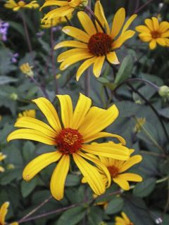 Heliopsis helianthoïdes var. scabra Summer Nights