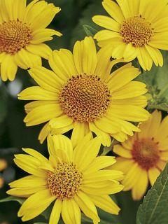 Heliopsis helianthoides Tuscan Sun® - Héliopsis faux-hélianthe.