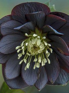 Hellébore 'Double Black'