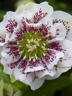Hellébore orientale guttatus Double Blanc