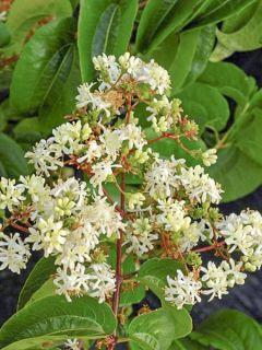 Heptacodium miconioides Tianshan - Arbre aux 7 fleurs