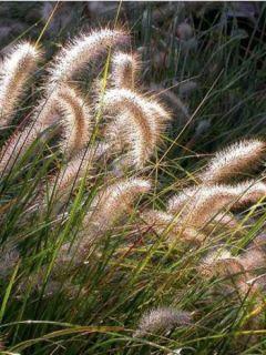Pennisetum alopecuroides Cassian - Herbe aux écouvillons