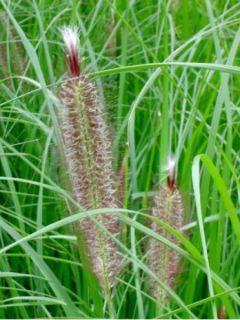 Pennisetum alopecuroides Magic - Herbe aux écouvillons