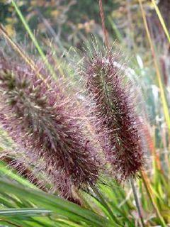 Pennisetum alopecuroïdes Moudry - Herbe aux écouvillons