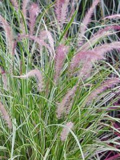 Pennisetum setaceum Skyrocket - Herbe aux écouvillons panachée