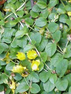 Lysimachia nummularia - Herbe aux écus