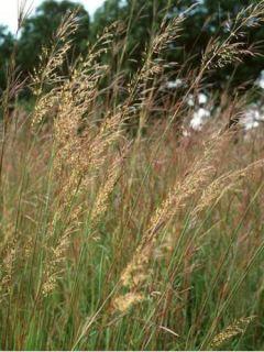 Sorghastrum nutans - Herbe des indiens
