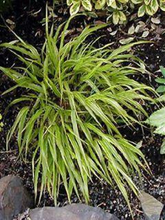 Herbe du Japon - Hakonechloa macra Albostriata