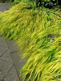 Herbe du Japon - Hakonechloa macra All Gold