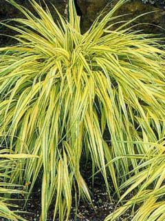 Herbe du Japon - Hakonechloa macra Aureola