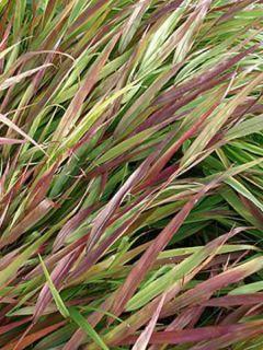Hakonechloa macra Beni-Kaze - Herbe du Japon