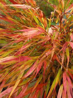 Herbe du Japon - Hakonechloa macra Nicolas