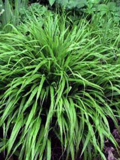 Herbe du Japon - Hakonechloa macra