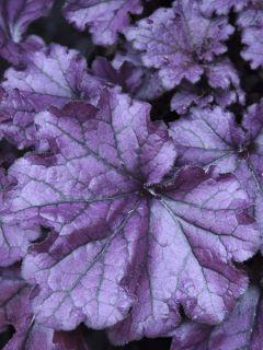 Heuchere Forever Purple - Heuchera (x) hybrida