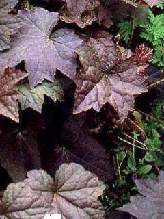 Heuchera micrantha Palace Purple - Heuchère pourpre