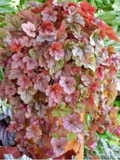 Heucherella Copper Cascade