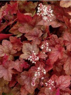 Heucherella 'Redstone Falls'