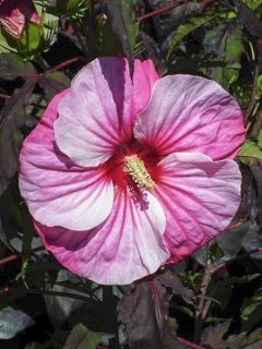 Hibiscus moscheutos Pink Candy - Hibiscus des marais