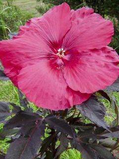 Hibiscus moscheutos Pink Passion - Hibiscus des marais