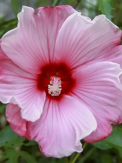 Hibiscus moscheutos Sweet Caroline - Hibiscus des marais