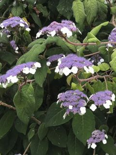 Hydrangea aspera Bellevue - Hortensia arbustif