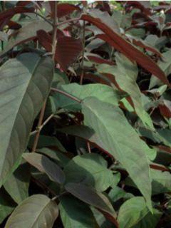 Hortensia - Hydrangea aspera Chololate