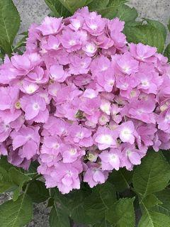 Hortensia  - Hydrangea macrophylla Belle Séduction