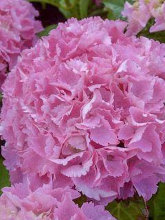 Hortensia 'Big Data Pink'