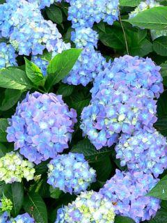 Hortensia - Hydrangea macrophylla Blauer Prinz