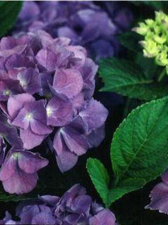 Hortensia 'Blauer Zwerg'