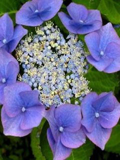 Hortensia - Hydrangea macrophylla Blaumeise