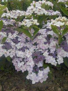 Hortensia 'Cloudi'