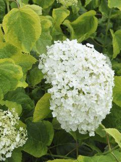 Hortensia - Hydrangea arborescens Golden Annabelle