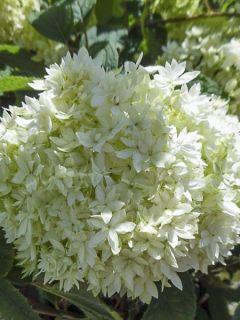 Hortensia de Virginie 'Hayes Starbust'