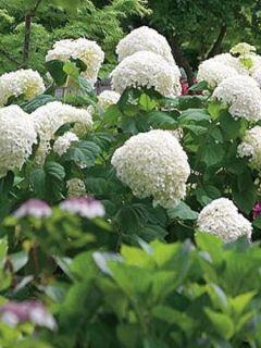 Hortensia de Virginie 'Incrediball'®