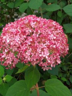 Hortensia de Virginie 'Invincibelle'®