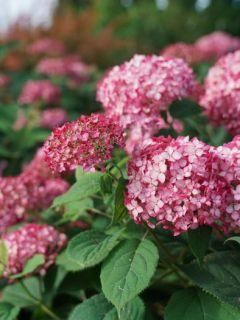 Hortensia - Hydrangea arborescens Invincibelle Ruby