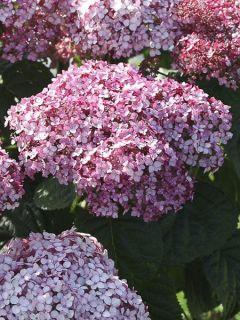Hortensia de Virginie 'Sweet Annabelle'